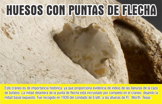 CRANEO DE BUFALO CON PUNTA DE FLECHA 3